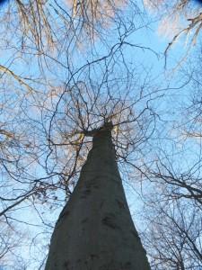 Gillies Grove Beeches